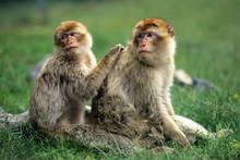 Barbary Macaque (Macaca Sylvan...