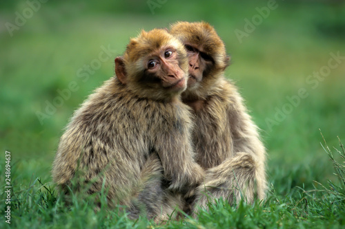 Barbary macaque (Macaca sylvanus),Magot  native to Morocco, Algeria and Gibralta Canvas Print