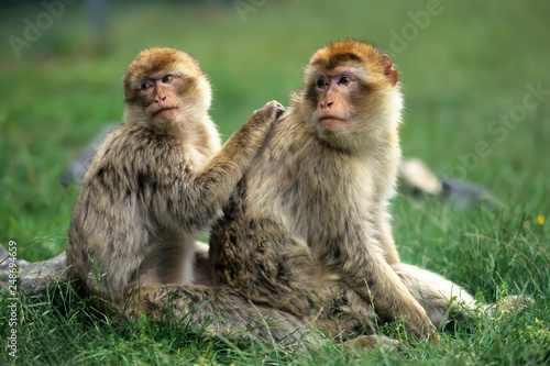 Canvas Print Barbary macaque (Macaca sylvanus),Magot  native to Morocco, Algeria and Gibralta