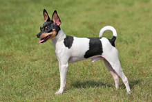 Toy Fox Terrier  In The Spring...