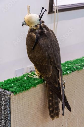 Fotografía  Falcon hooded in white cap at Falcon Souq in Doha, Qatar.