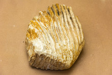 Closeup Of Mammoth Tooth.