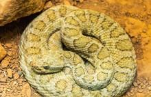 Midget Faded Rattlesnake