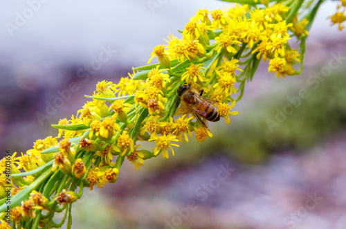 Fotografia, Obraz  Honey bee pollinating seaside goldenrod flower