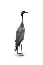 Crane On White Background