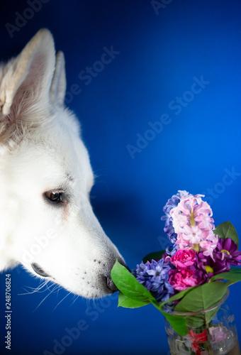 Fototapeta Biała głowa psa wąchającego kolorowy bukiet kwiatów obraz