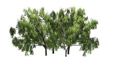 Several Various Honey Mesquite Trees - Isolated On White Background