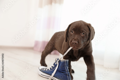 Canvas Print Chocolate Labrador Retriever puppy playing with sneaker indoors