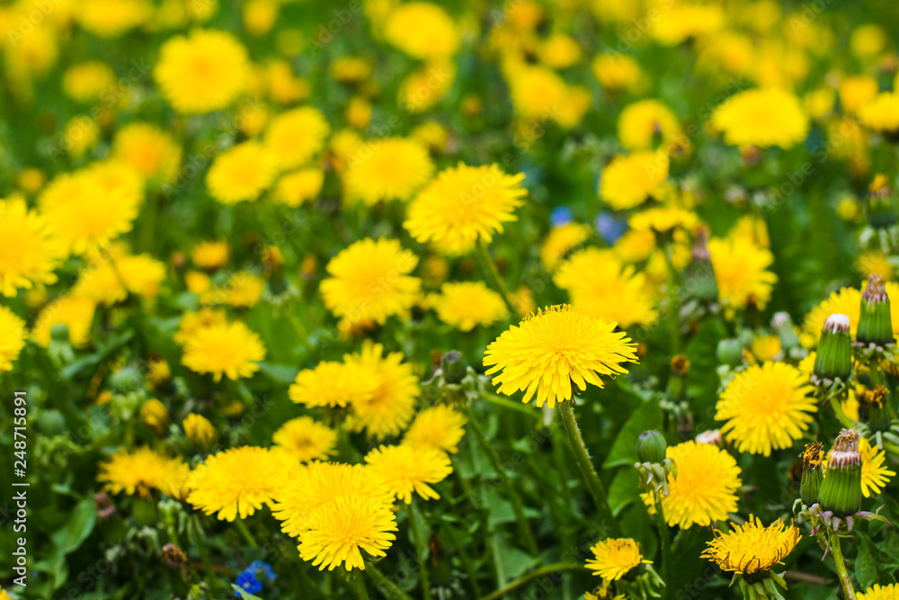 Fototapety, obrazy: beautiful yellow dandelions in the natural environment