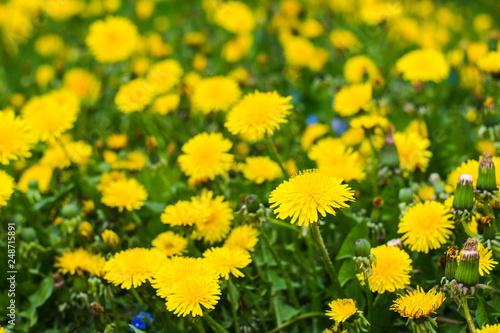 Foto auf Leinwand Lowenzahn beautiful yellow dandelions in the natural environment