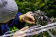 Leinwanddruck Bild - Legal cannabis grow room series - Marijuana growing and cultivation farmer checking his plants
