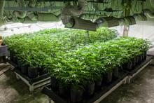 Legal Cannabis Grow Room Serie...