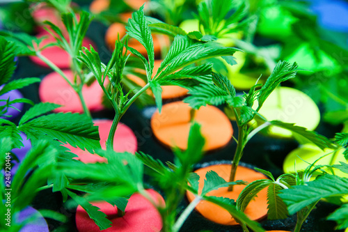 Legal cannabis grow room series - Marijuana growing and cultivation small clones Wallpaper Mural