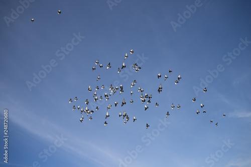 Fotografía  Stado gołębi frunie po bezchmurnym niebieskim niebie