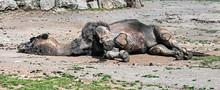 Sleeping Dromedary Camel. Latin Name - Camelus Dromedarius