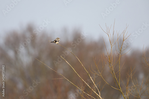 Fototapety, obrazy: A great grey shrike (Lanius excubitor) perched in the cold morning sun in a tree. On the lookout searching for food.