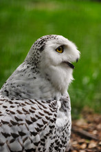 Close-up Of Female Snowy Owl On The Green Background.