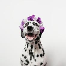 Happy Dalmatian With Violet Fl...