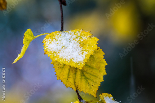 Snow covered yellow leaves