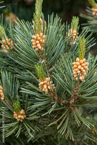 Fotografie, Obraz  Closup of Cedar Branch
