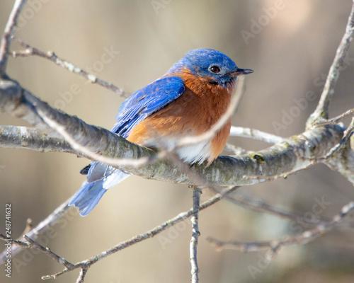 Fototapeta Eastern Bluebird
