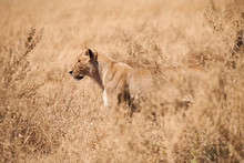 Wonderful Lioness Walks In The...
