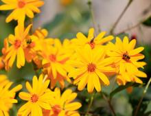 Yellow Chrysanthemums In Full ...