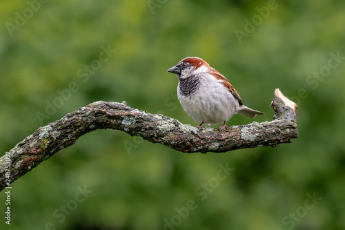 Fotografie, Obraz  White-throated Sparrow perched on a branch