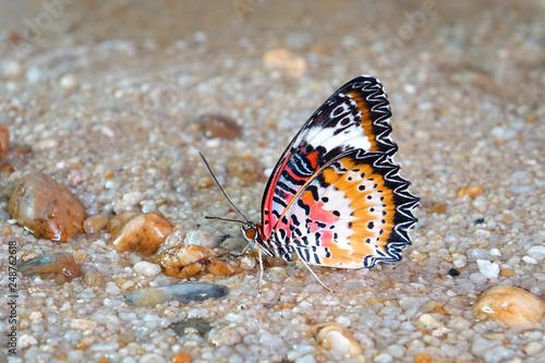 Butterfly : Leopard lacewing butterfly (Cethosia cyane)(Male