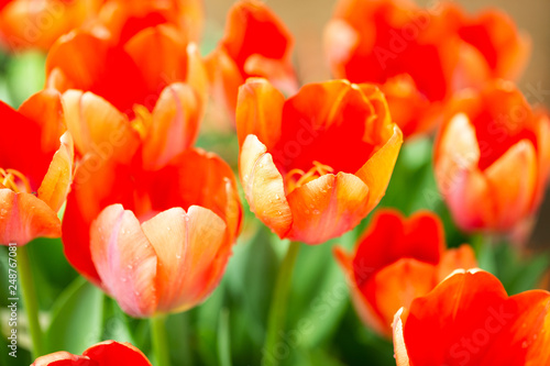 Foto  Orange tulip flower garden