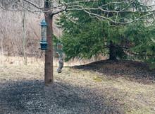 Upside Down Gray Squirrel