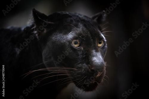 Photo Stands Panther Closeup Black panther