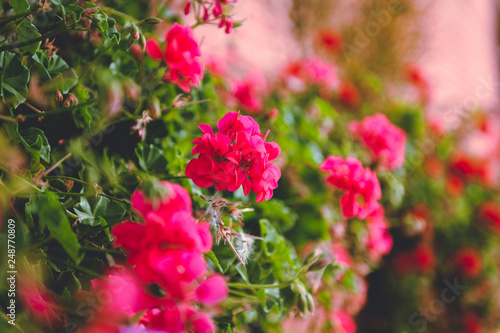 Tuinposter Azalea Flowers in the street flowerbed