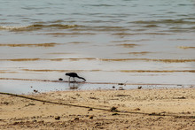 Black Bird Is Finding For Fish...