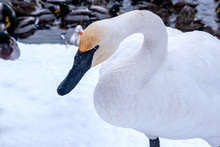 A Close Portrait Of A Swan On The Background Of Snow