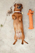 Dachshund Playing Next To Toy