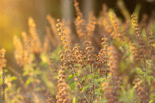 Photo Flower of grass In the meadow backlit the orange light of the sun in the evening can see grass silhouette
