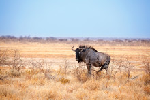 One Wildebeest On Yellow Grass And Blue Sky Background Close Up In Etosha National Park, Safari During The Dry Season In Namibia, Southern Africa
