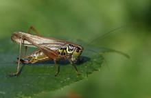 A Roesel's Bush-cricket (Metri...