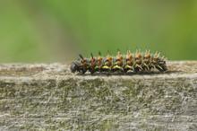 A Red Admiral Caterpillar (Van...