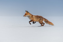 Red Fox (Vulpes Vulpes) With A...