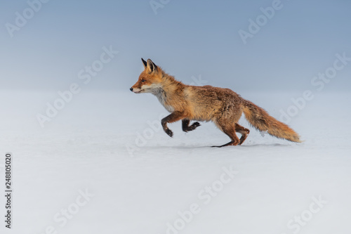 Obraz Red fox (Vulpes vulpes) with a bushy tail hunting in the snow in winter in Algonquin Park in Canada - fototapety do salonu