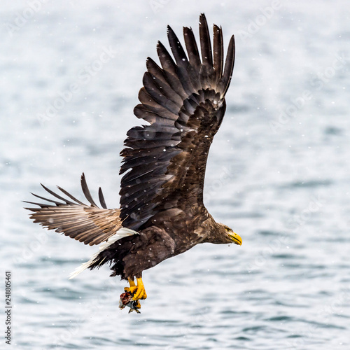 Fotobehang Eagle The Predatory White-talied Sea Eagle