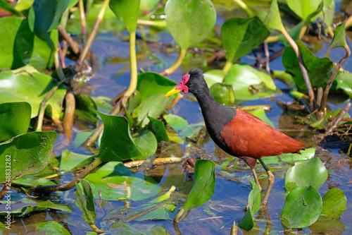 Fotografija  Wattled Jacana, Jacana Jacana, with water lillies in the wetlands of the Pantana