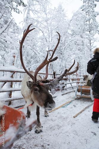 Plakat Duży renifer przygotowuje się do sań w Laponii, w Finlandii.
