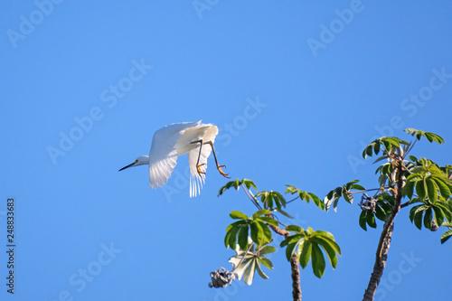 Fotografija  Great egret, Egretta alba, flying over river in the Pantanal, Corumba, Mato Gros