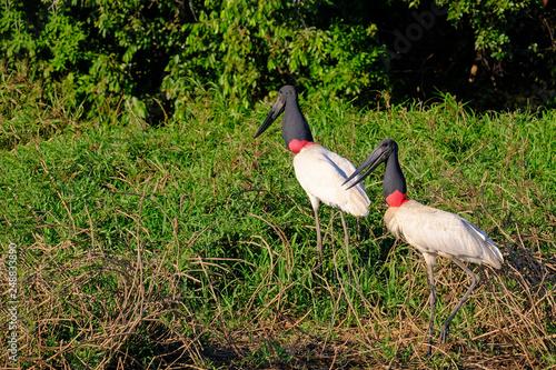 Fotografija  Jabiru Storks, Jabiru Mycteria, Cuiaba River, Porto Jofre, Pantanal Matogrossens