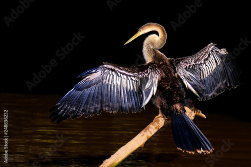 Anhinga, Anhinga Anhinga, also called Snakebird or Darter, Cuiaba River, Pantana Canvas Print