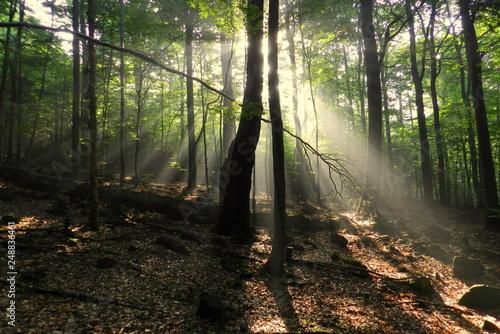 prześwity słońca w lesie, drzewa - fototapety na wymiar