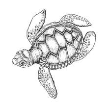Turtle Vector Illustration. Sc...